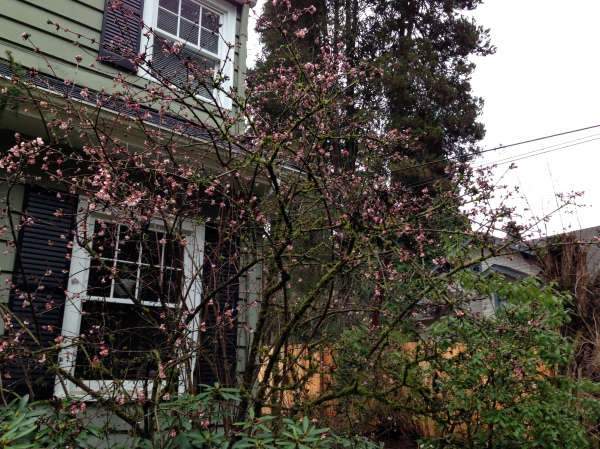 A giant Viburnum in January.