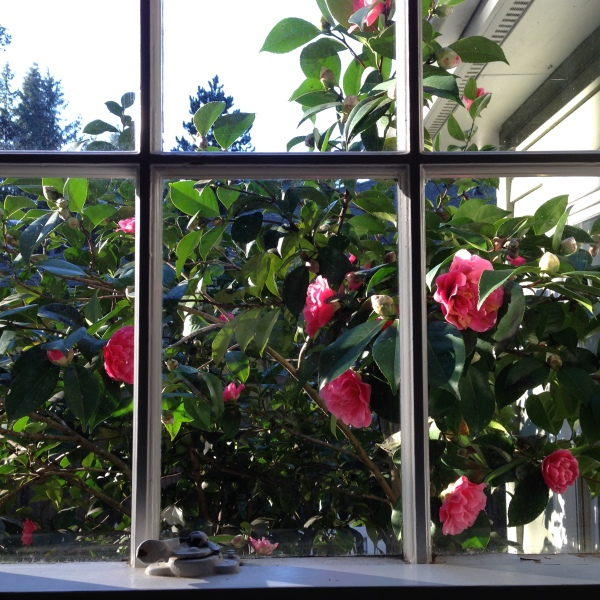 Camellia in February.