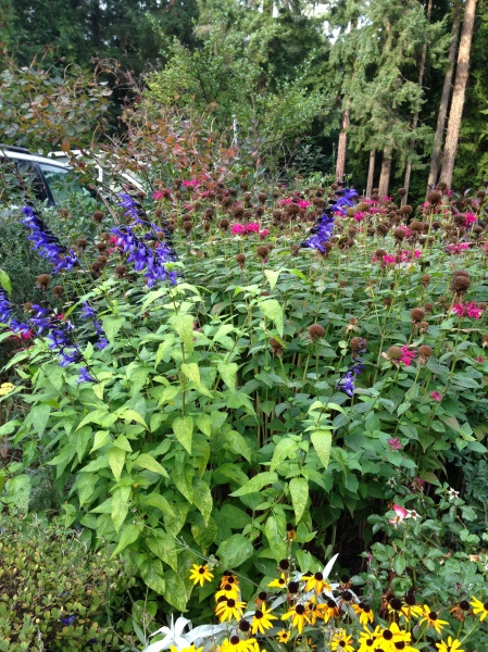 Salvia lasted into October