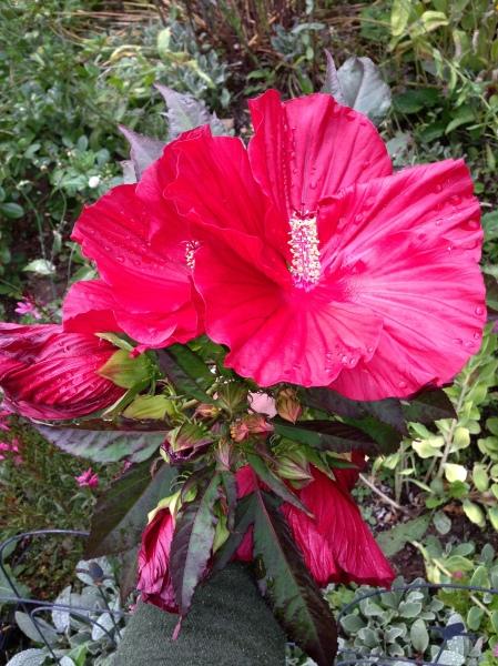 Hibiscus in September