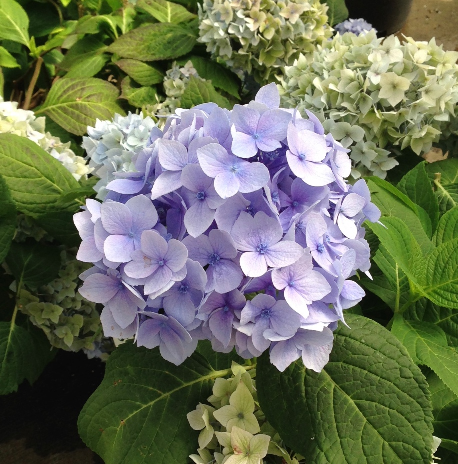 Endless Summer Hydrangea 'Original'